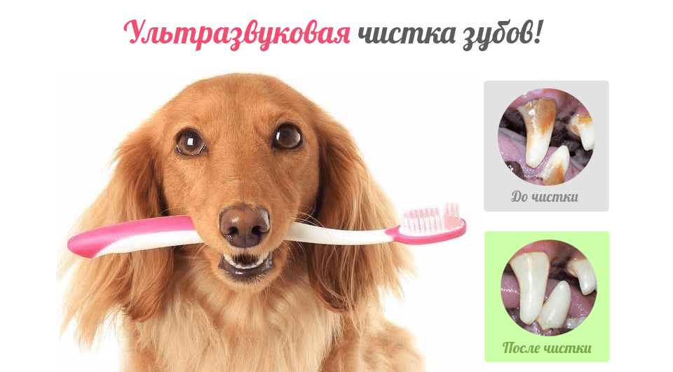 Ультразвуковая читска зубов собак Челябинск